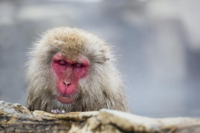 Wild Snow Monkey Asleep in the Steam. Fuzzy brown hair and a deep red face with closed eyes and mouth, this Japanese Snow Monkey, wet below its head with fingers royalty free stock photos