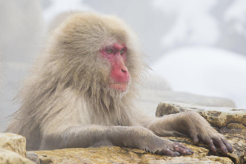 Wild Snow Monkey in Deep Thought. With wet paws hanging over a rocky ledge and steam rising all around it, this red-faced, adult, furry wild snow monkey sits in stock photography