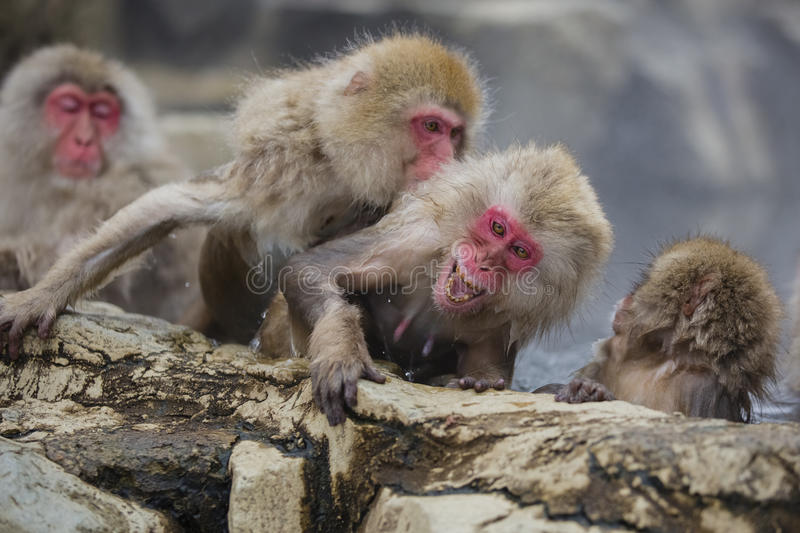 Wild Snow Monkey Displeasure. Under attack while in the hot steamy water, a fuzzy brown red-faced wild snow monkey holding onto a rocky ledge screams in royalty free stock photography