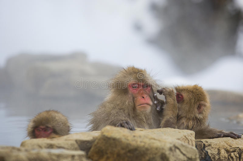 Wild Snow Monkey: Gloomy Grooming. Sitting in steamy water accompanied by juveniles, one of which is doing its best to `groom`, an adult wild, wet, red-faced royalty free stock image