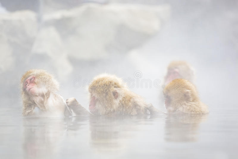 Wild Snow Monkey Group Therapy: Grooming in the Mist. Wild snow monkeys in soft focus surrounded by steam rising of hot springs grooming each other in group stock photos