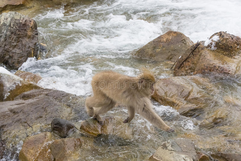 Wild Snow Monkey on a Stroll by Rapids. A fuzzy brown wild snow monkey taking a leisurely stroll over rocks by frothy rapids royalty free stock photo