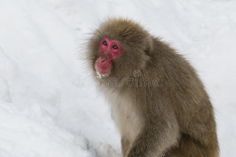 Wild Snow Monkey Looking Up in Snow. On a wintry day, with deep white snow covering a mountainside incline, a fuzzy, brown, red-faced wild snow monkey pauses to stock photography