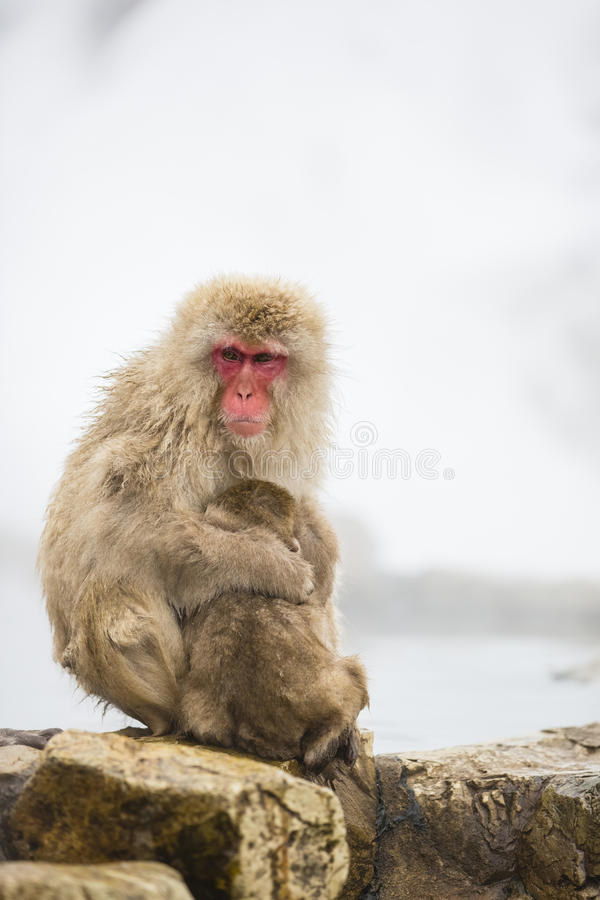 Wild Snow Monkey Mom Protecting Baby on the Rocks. While a wild baby snow monkey cuddles and nurses on momma snow monkey on a rocky ledge in front of steam stock image
