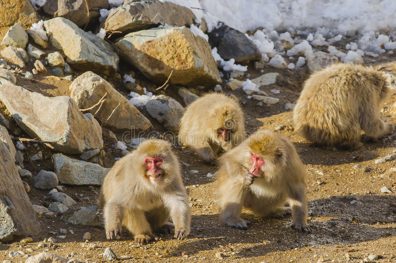 Wild Snow Monkey Preparing to Attack. In the sun, while fellow snow monkeys stuff their faces and look on, one female, brown, fuzzy, furry , red-faced wild snow royalty free stock image