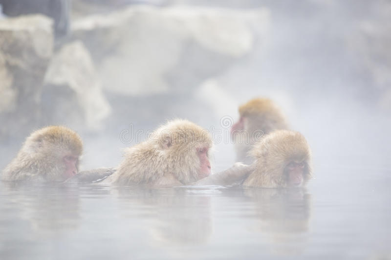 Wild Snow Monkey Spa Therapy. Wild snow monkeys in soft focus surrounded by rocks and steam rising off hot springs, grooming each other in group spa therapy royalty free stock image