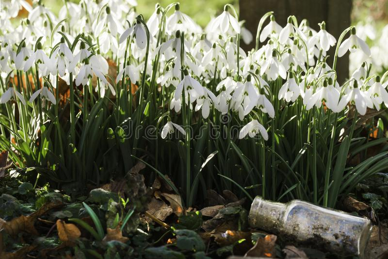 Wild snowdrops flowers and glass jar. Stunning wild snowdrops at eye level and an old glass bottle. Early morning sunlight in February royalty free stock photo