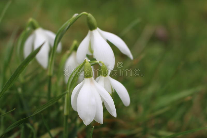 Wild Snowdrops. Growing in a meadow. Galanthus is a small genus of about 20 species of bulbous perennial herbaceous plants in the family Amaryllidaceae. The royalty free stock photography