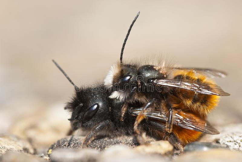 Mason bees mating. Wild solitary mason bees Osmia bicornis mating, the smaller male bee sits on top stock image
