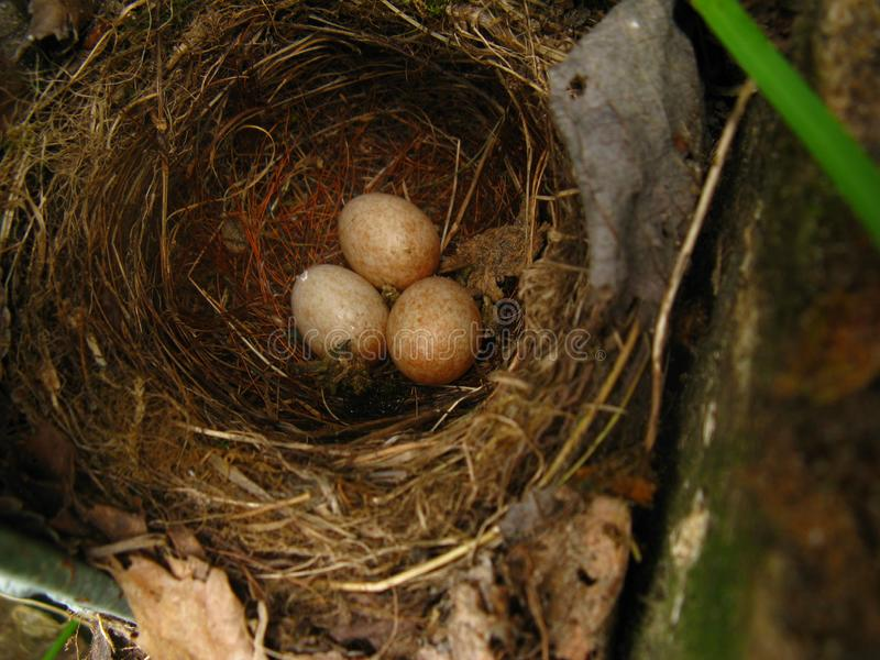 Wild songbird made a nest in a secluded place in the garden stock images