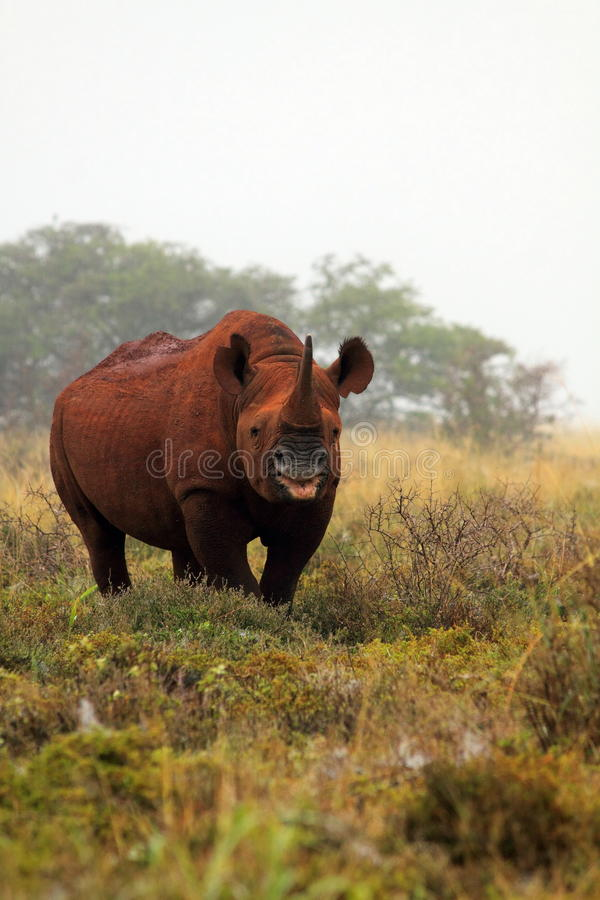 Wild south african black rhino royalty free stock image