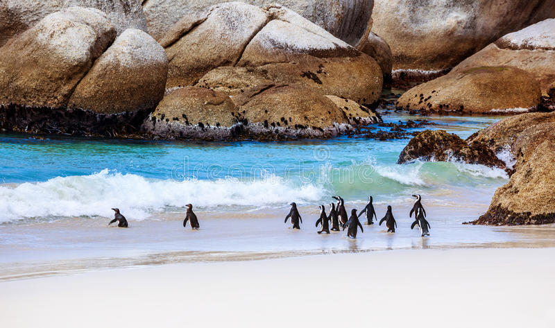 Wild South African penguins. Colony of Black-footed Penguins walking on Boulders beach in Simons Town, beauty of wildlife royalty free stock photo