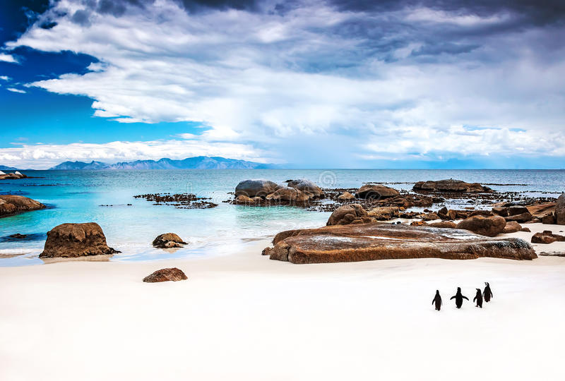 Wild South African penguins. Colony of Black-footed Penguins walking on Boulders beach in Simons Town, beauty of wildlife stock photography