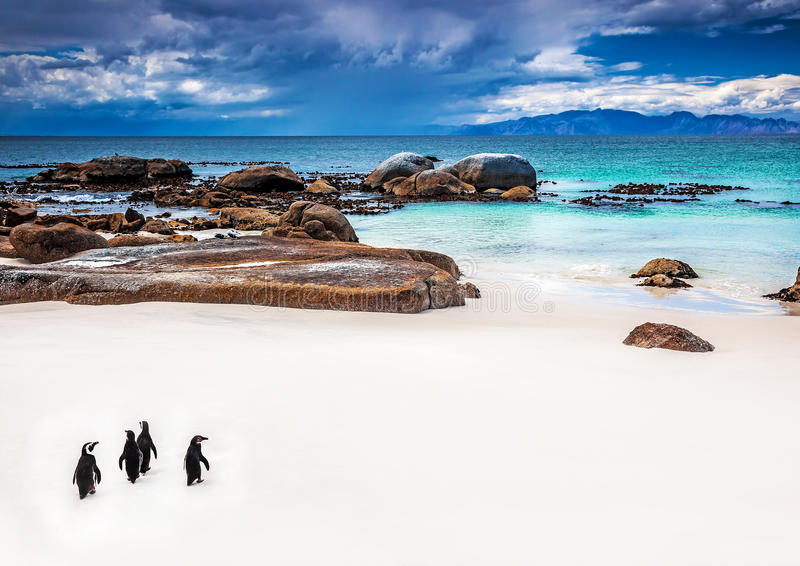Wild South African penguins. Little group of Penguins walking along Boulders beach in Simons Town, travel and tourism concept royalty free stock image