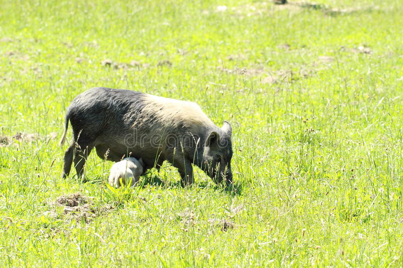 Download Wild Sow With Piglet Stock Image - Image: 25304111