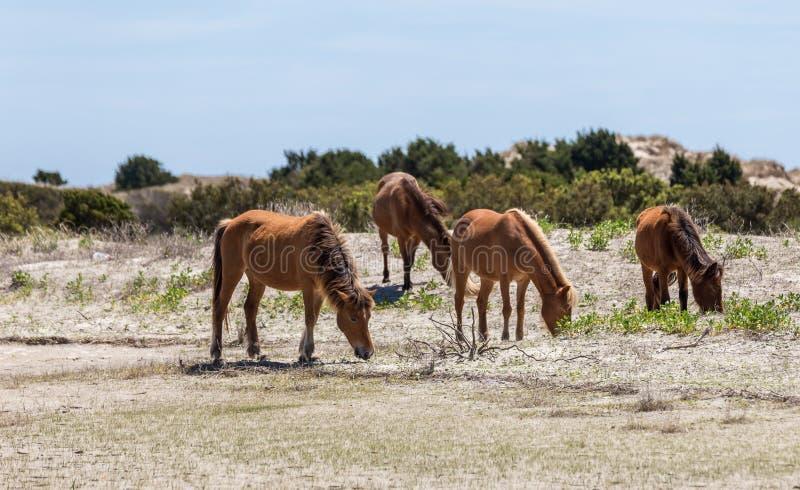 Wild Spanish Decendent Mustangs. North Carolina wild horses descendent from 16th century Spanish explorers to North America stock images
