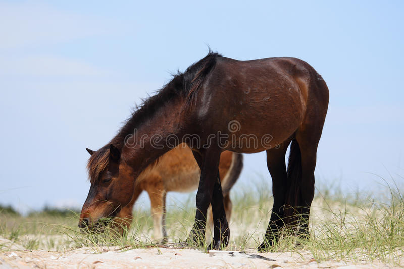 Wild Spanish mustangs of Shackleford Banks North Carolina royalty free stock photography