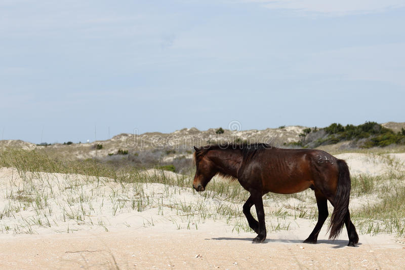 Wild Spanish mustangs of Shackleford Banks North Carolina stock images