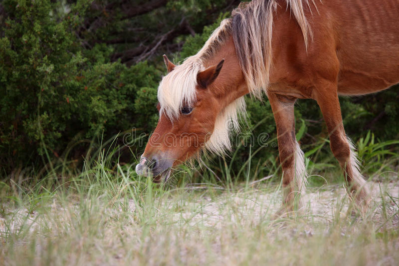 Wild Spanish mustangs of Shackleford Banks royalty free stock photography