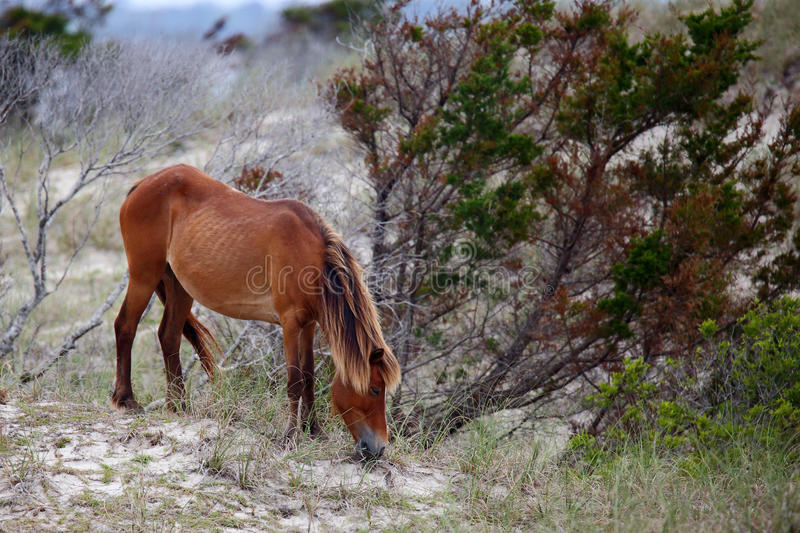 Wild Spanish mustangs of Shackleford Banks stock images