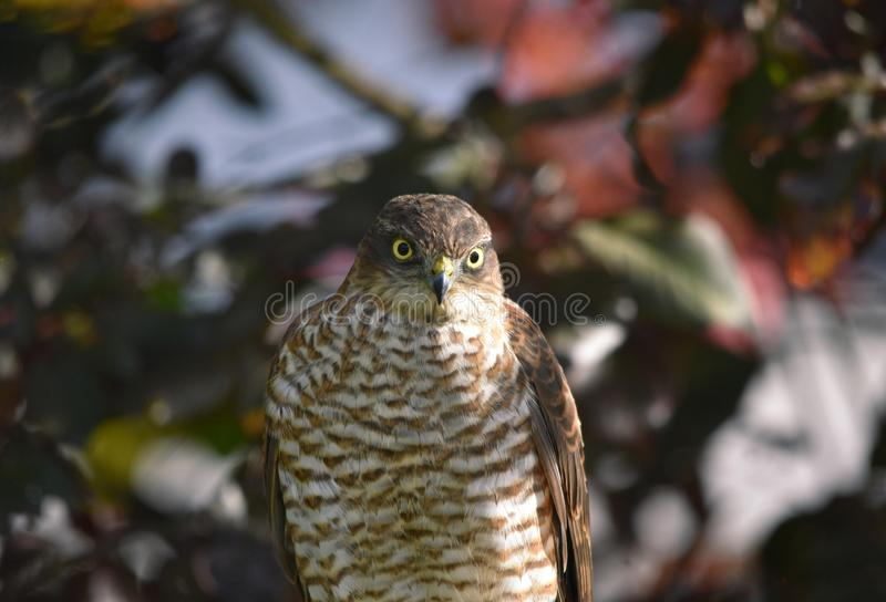 Sparrowhawk. A wild sparrow hawk bird of prey perched in a tree in the UK royalty free stock photo