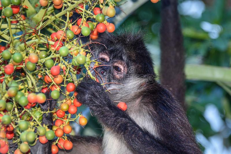 A wild spider monkey male eating betel nuts on a betel palm tree. A wild spider monkey male eating betel nuts on a betel palm tree stock image