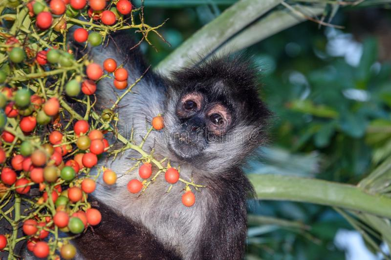 A wild spider monkey male are going to eat some betel nuts on a betel palm tree. A wild spider monkey male are going to eat some betel nuts on a betel palm tree stock images