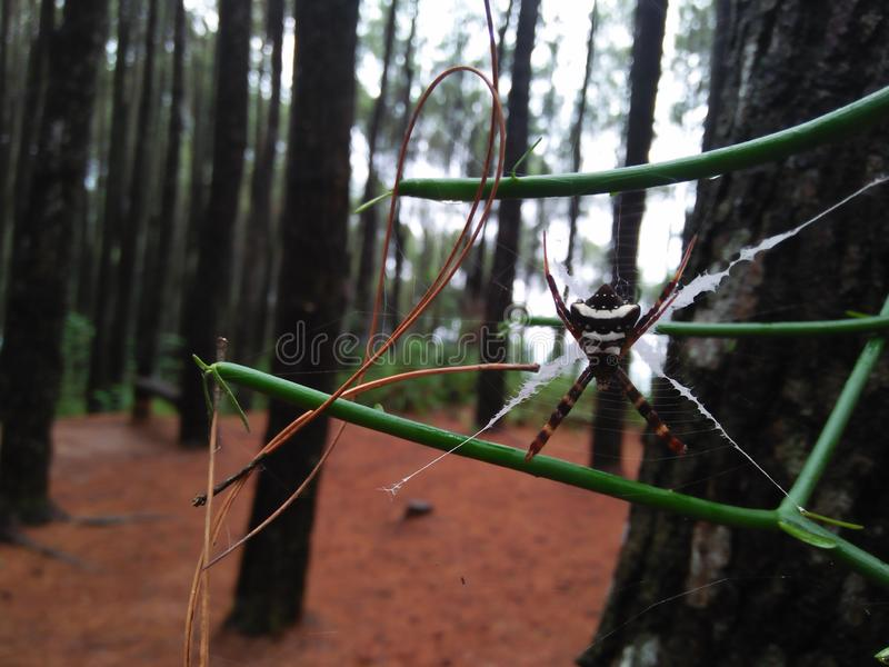 Wild spiders in a pine forest royalty free stock images