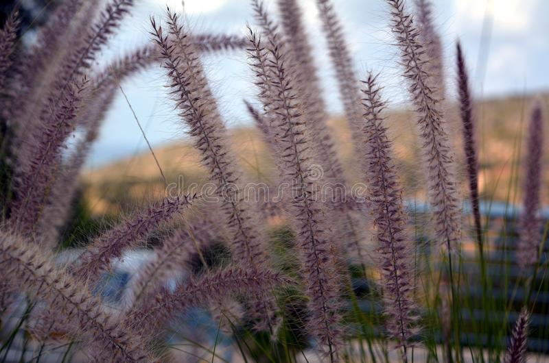 The wild spikes in the wind in Ein Hod stock photography