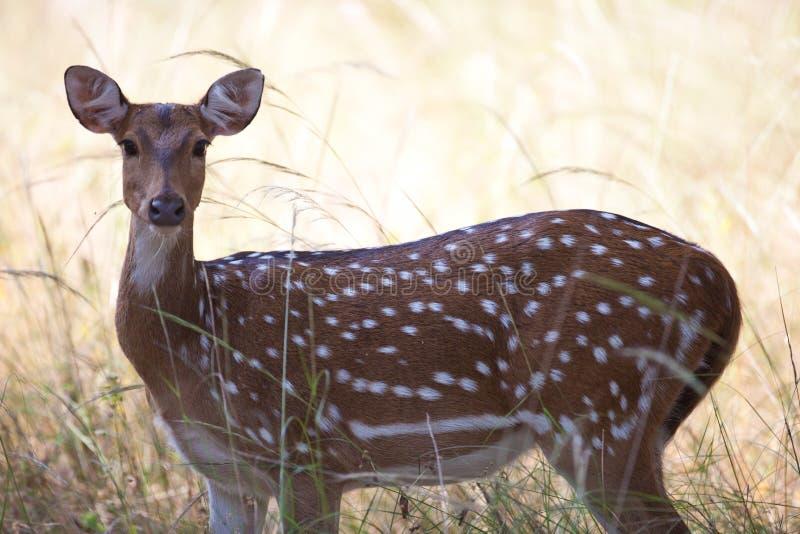 Download Wild Spotter Deer Royalty Free Stock Image - Image: 24663306