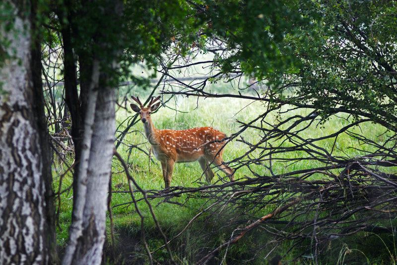 Wild spotter deer in forest stock photos