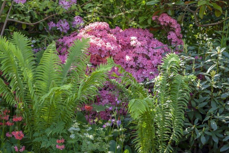 Wild spring garden with green ferns. Wild spring garden with green fern and pink plants stock photography