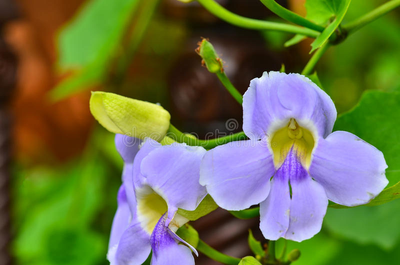 Wild spring violets flowers royalty free stock photos