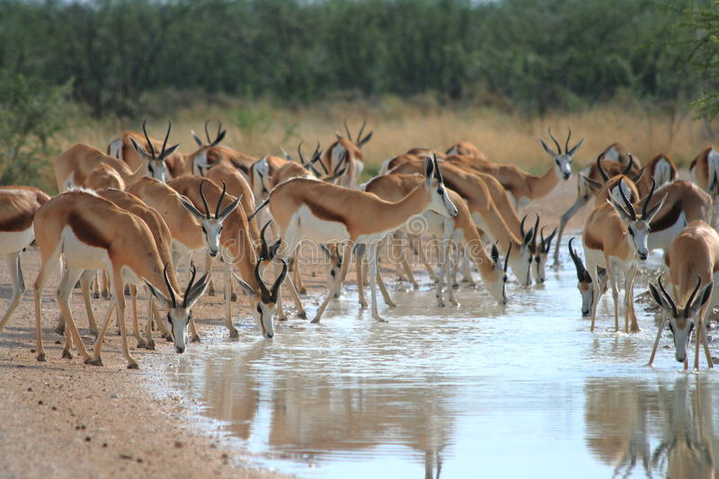 Wild springbok drinking. Several springbok drinking in the namibian desert after some rain fell royalty free stock images
