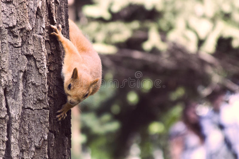 A wild squirel seating on old oak tree in a hot summer day stock image
