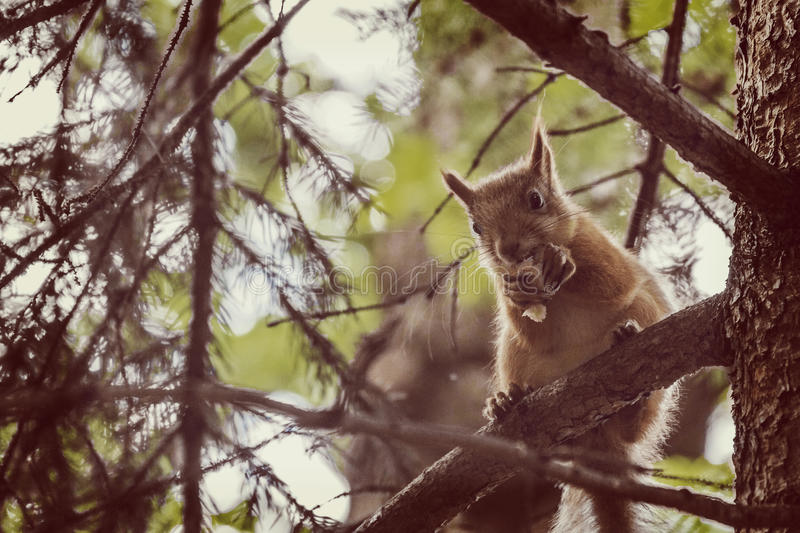 A wild squirel seating on old oak tree in a hot summer day royalty free stock photo