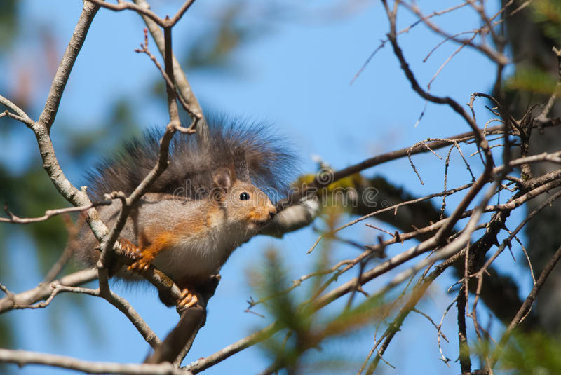Red squirrel. Wild squirrel sitting on the branch royalty free stock images