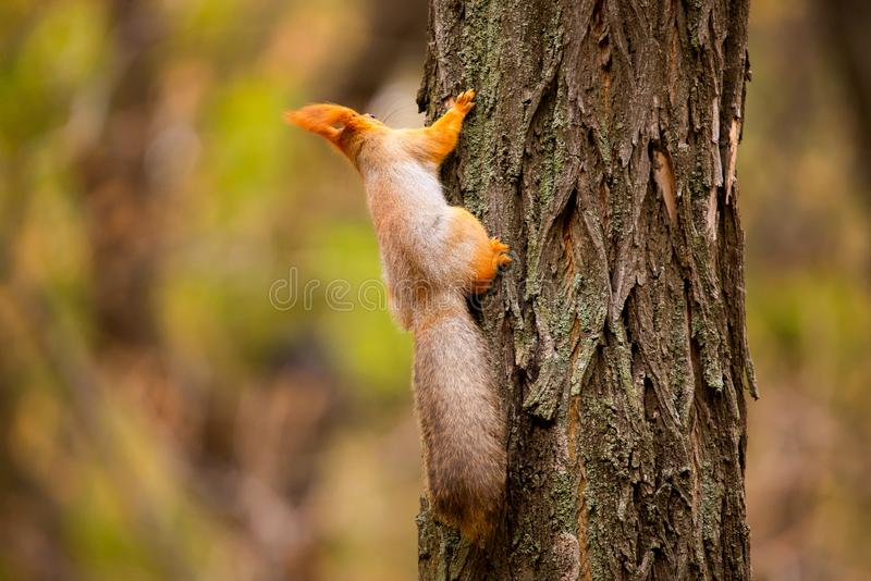 A wild squirrel captured in a cold sunny autumn day, funny cute squirrel is on the tree in autumn park. Colorful nature, fall. Season concept, squirel, squirell stock photos