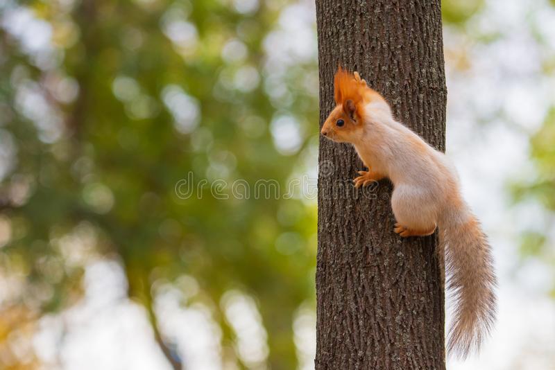 A wild squirrel captured in a cold sunny autumn day, funny cute squirrel is on the tree in autumn park. Colorful nature, fall. Season concept, squirel, squirell stock photography