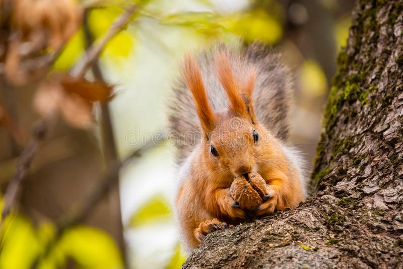 A wild squirrel captured in a cold sunny autumn day, funny cute squirrel is on the tree in autumn park. Colorful nature, fall. Season concept, squirel, squirell royalty free stock photography