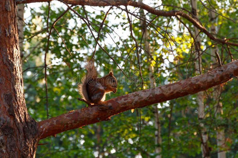 A wild squirrel sits on a pine branch and eats nuts. Natural background. Copy space. Squirrel in nature stock photo