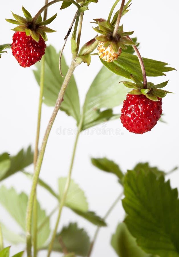 Wild srawberry