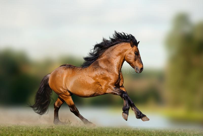 Wild stallion on nature royalty free stock images