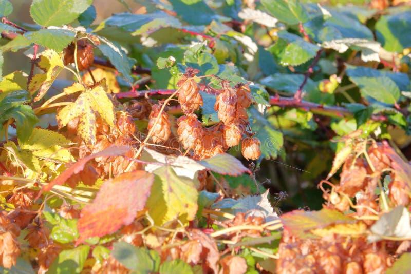 Wild steigt Herbst ein lizenzfreie stockfotografie