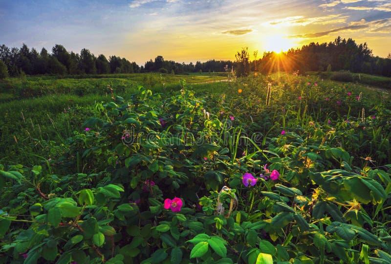 Wild stieg bei Sonnenuntergang stockbilder