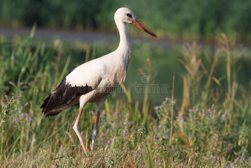 Wild Stork Royaltyfria Bilder