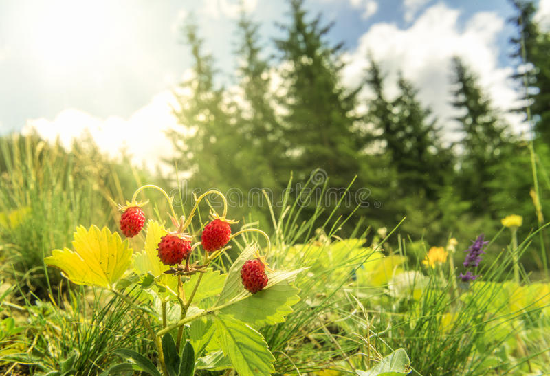 Wild strawberries bush in a summer forest decor stock images