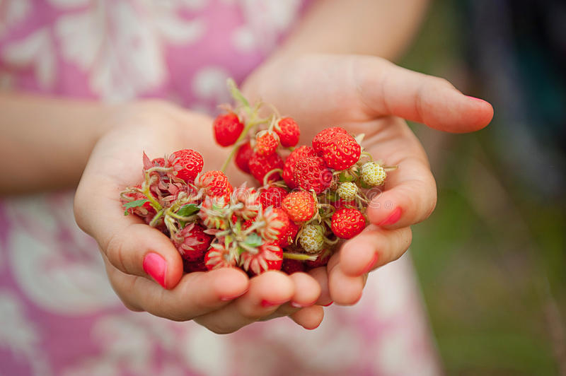 Wild strawberries in hand stock photography