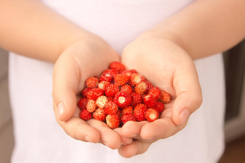 Wild strawberries in hands royalty free stock photo