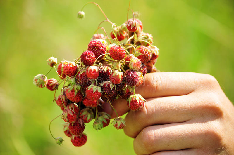 Wild strawberries 2 royalty free stock images